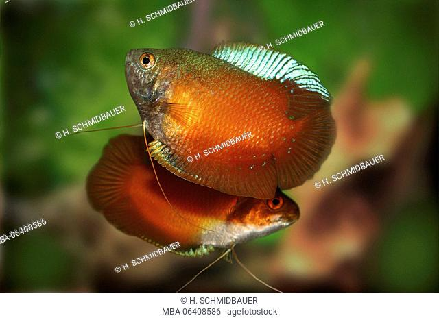 Red dwarf gourami, Colisa lalia, cultivated form, rival, fight