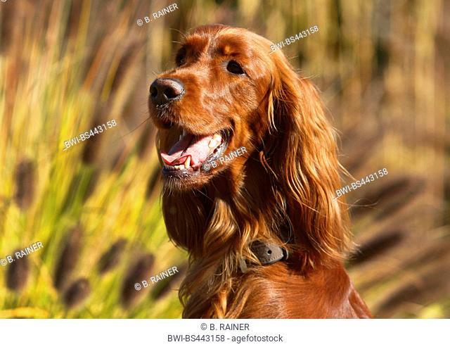 Irish Red Setter, Irish Setter (Canis lupus f. familiaris), 2 years old female, Germany
