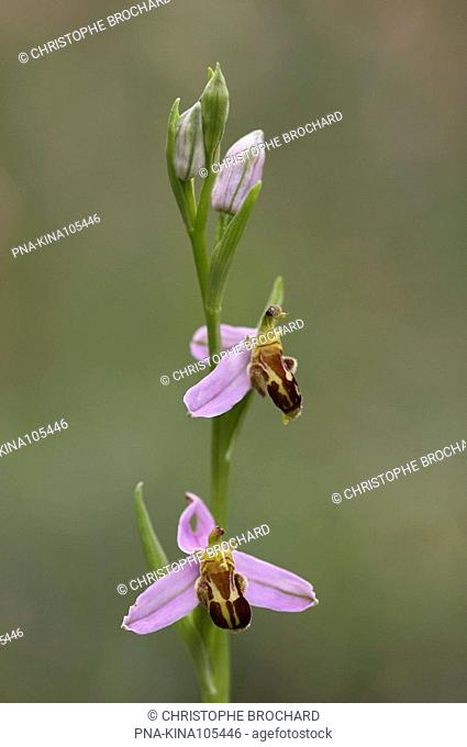 Bee Orchid Ophrys apifera - Saint-Georges-de-Luzençon, Aveyron, Midi-Pyrénées, Pyrenees, France, Europe