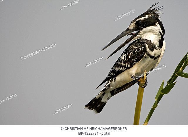 Pied Kingfisher (Ceryle Rudis), Chobe National Park, Botswana, Africa