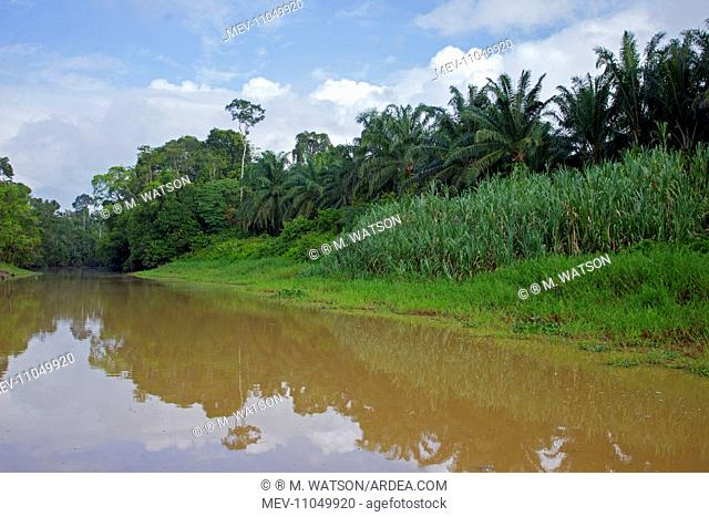 Kinabatangan River showing destruction of the tropical forest to plant Oil Palm Trees Sabah, Malaysia, Borneo, Asia