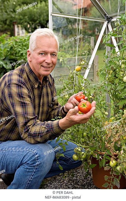 Senior man picking tomatoes from garden, smiling