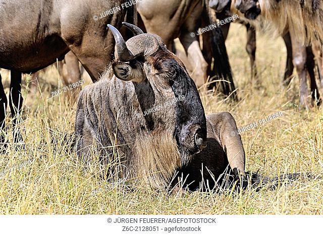 Wildebeest, Connochaetes Taurinus, in Masai Mara, Kenya