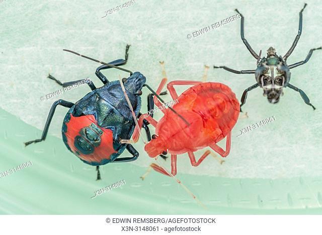 Stinkbugs (Halyomorpha halys)