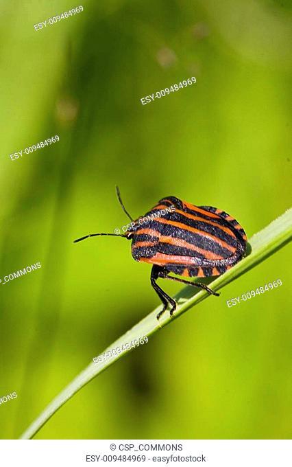 black orange striped bug