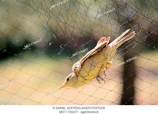 Phylloscopus ibericus caught in a mist net for ornithological studies, Spain