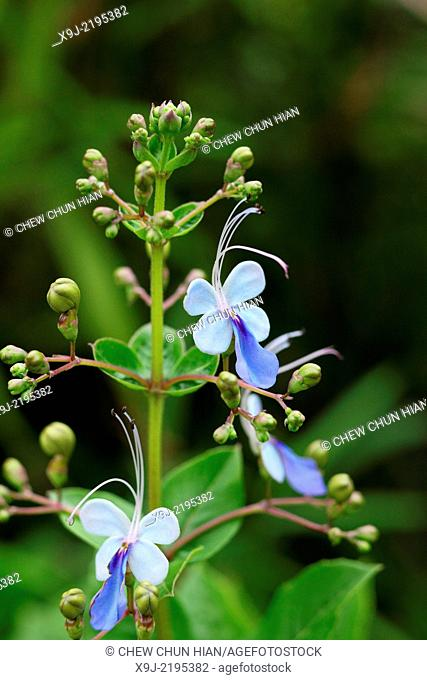 Tropical flowers, Borneo