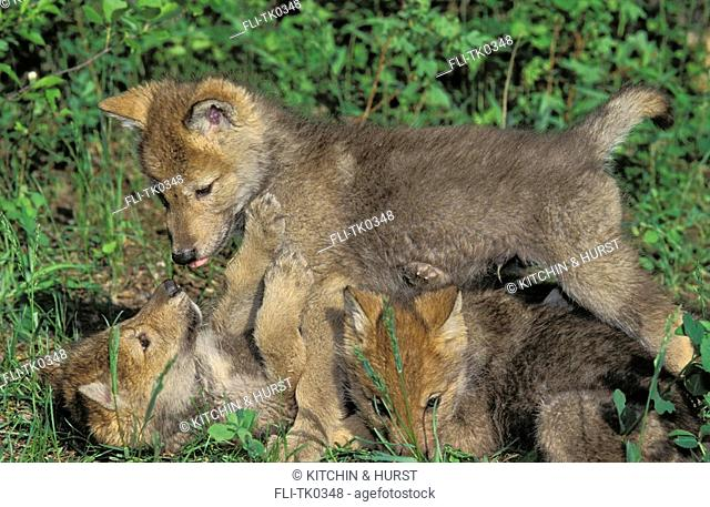 Gray Wolf,Timber Wolf Pups  3 week-old Pups  Play Behavior  Spring  Rocky Mountains  North America  Canis lupus