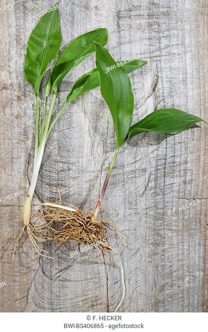 ramsons, buckrams, wild garlic, broad-leaved garlic, wood garlic, bear leek, bear's garlic (Allium ursinum), comparision of ramson and lily-of-the-valley