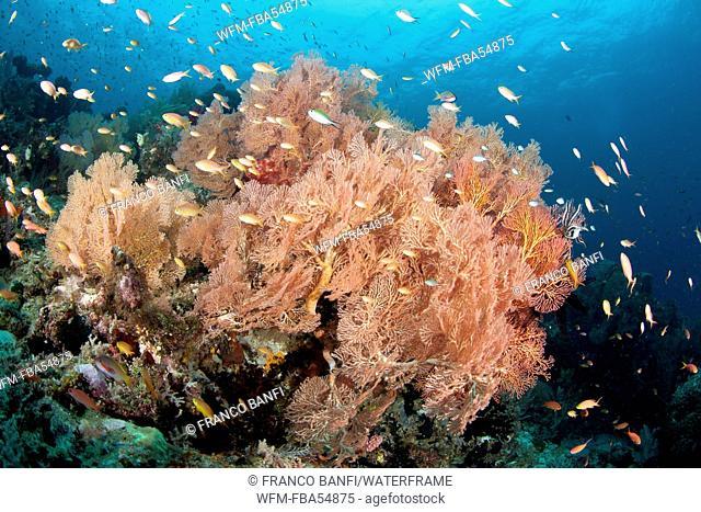 Sea Fan in Coral Reef, Melithaea sp., Raja Ampat, West Papua, Indonesia