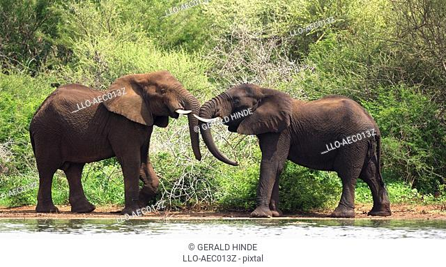 Male Elephant Loxodonta africana Pair Tussling  Kruger National Park, Mpumalanga Province, South Africa