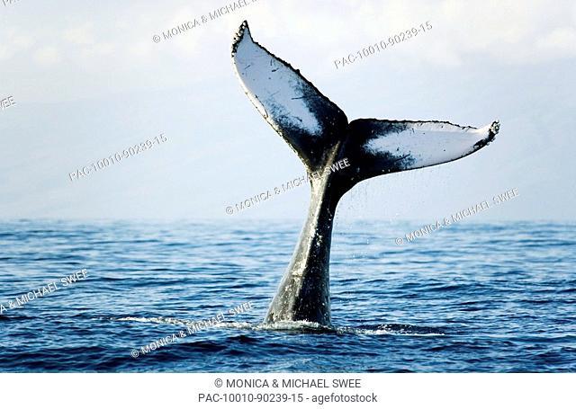 Hawaii, Maui, Humpback Whale Megaptera novaeangliae tail fin