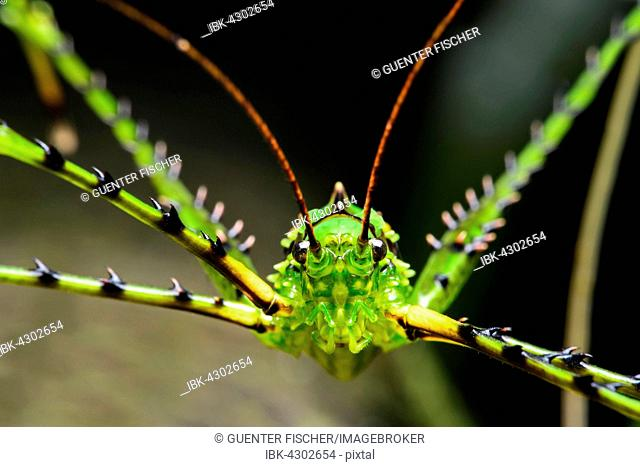 Katydid or bush cricket (Championica sp.), portrait, Cloud Forest, Cosanga, Ecuador