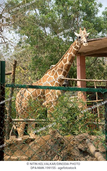 Giraffe, nandankanan zoological park, orissa, Asia, India