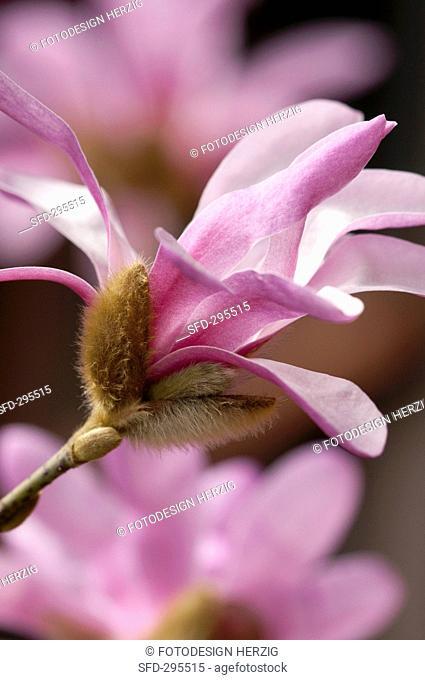 A pink star magnolia Magnolia Loebneri Leonard Messel