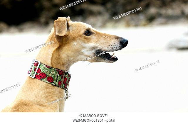 Spain, Llanes, profile of greyhound on the beach