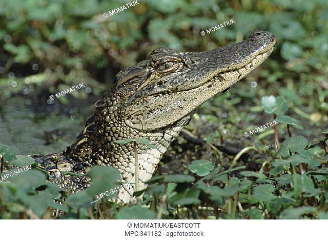 AMERICAN ALLIGATOR  (Alligator mississippiensis) ADOLESCENT  EMERGING FROM DENSE VEGETATION IN  WETLANDS, LAKE MARTIN, LOUISIANA