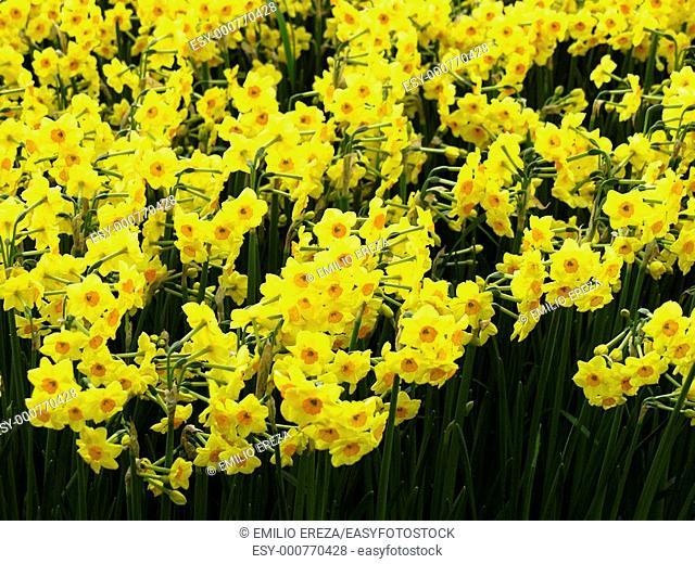 Keukenhof gardens Lisse, Holland