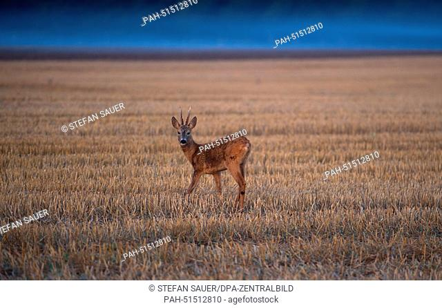 A young deer stands on a field near Wolgast, Germany, 29 August 2014. Photo: STEFAN SAUER/dpa | usage worldwide. - Wolgast/Germany