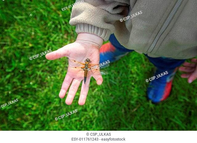 Dragonfly on the palms of the child. View from above