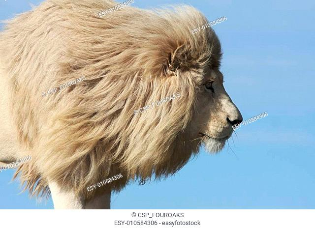 White Lion Prowl