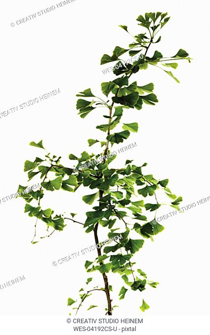 Ginko tree, close-up