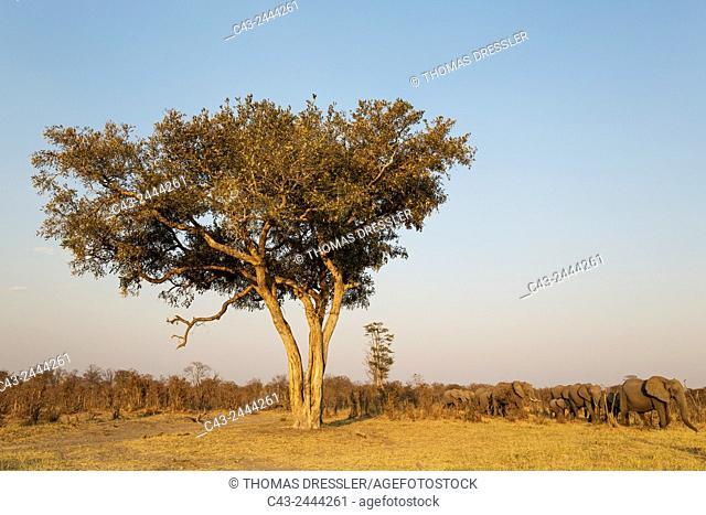 African Elephant (Loxodonta africana) - Moving past an Apple-leaf tree (Lonchocarpus capassa) towards the waters of the Savuti marsh. In the evening
