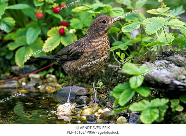 Common blackbird (Turdus merula) juvenile drinking water from brook