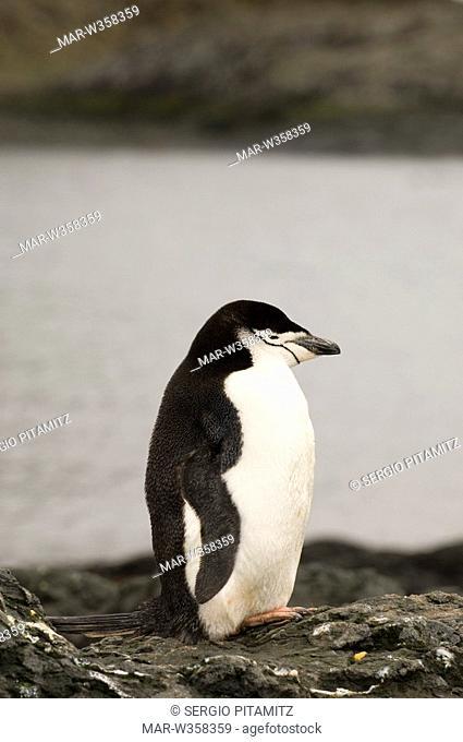 Antarctica, South Shetlands Islands, Aitcho Island, Chinstrap Penguin