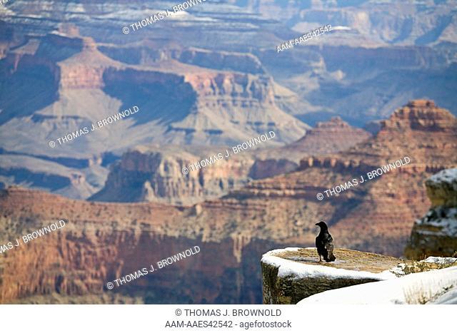 Raven (Corvus corax) overlooking The Grand Canyon