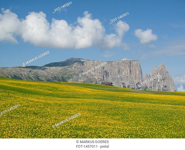 Dandelion meadow in front of The Schlern