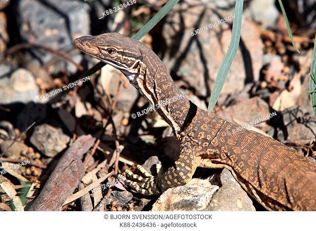 Goanna. Flinders Ranges, South Australia