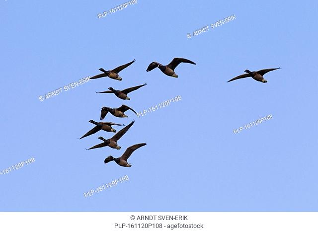 Brant geese / brent geese (Branta bernicla) flock in flight during migration against blue sky