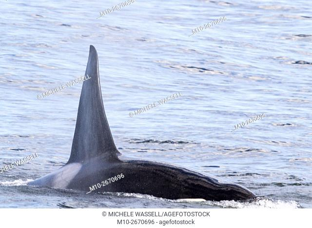 Killer Whales traveling after killing a Pacific White Sided Dolphin on the Monterey Bay, California, USA
