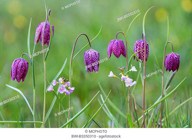 common fritillary, snake's-head fritillaria (Fritillaria meleagris), blooming in a meadow with Cardamine pratensis, Germany