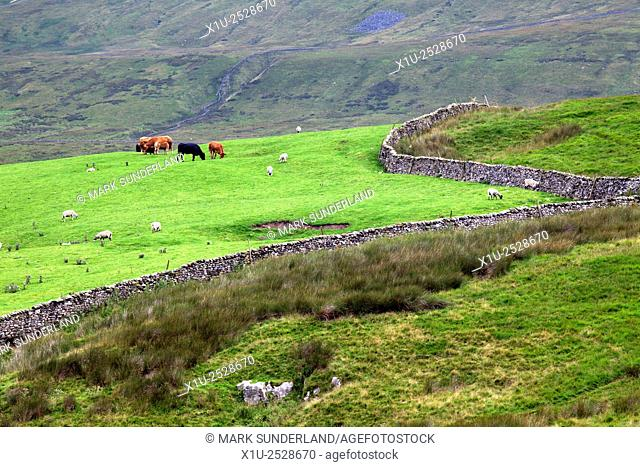 Sheep and Cattle Grazing in a Meadow on the Slopes of Whernside Ribblehead Yorkshire Dales England