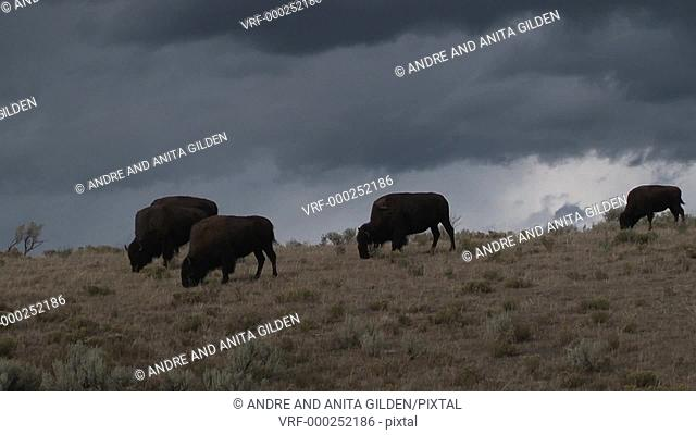 Bison grazing with big thunderstorm in the background