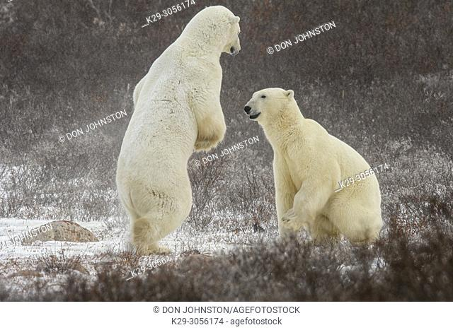 Polar Bear (Ursus maritimus) Interaction and sparring, Churchill Wildlife Management area, Churchill, Manitoba, Canada
