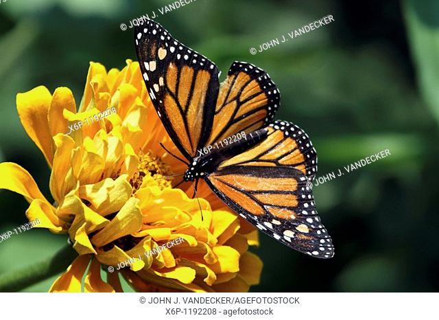 Monarch Butterfly, Danaus plexippus, with wings spread feeding at a yellow flower  The butterfly is a female as evidenced by the lack of a black spot on the...