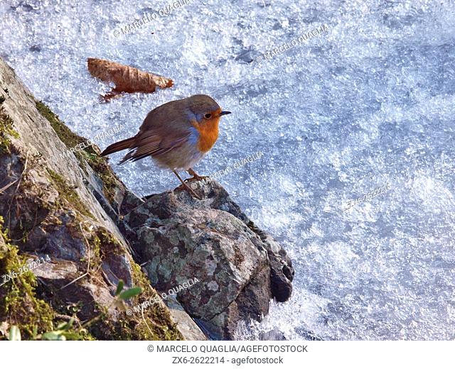 European Robin (Erithacus rubecula) at frozen Riera Major stream. Viladrau village countryside. Montseny Natural Park. Barcelona province, Catalonia, Spain