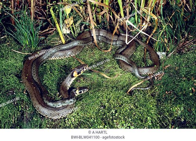 grass snake Natrix natrix, mating at the shore of a pond, Germany, Bavaria