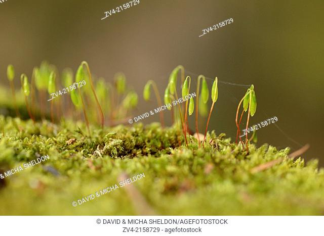 Close-up of Moss with spore capsules (Byrum) on a stonewall in spring