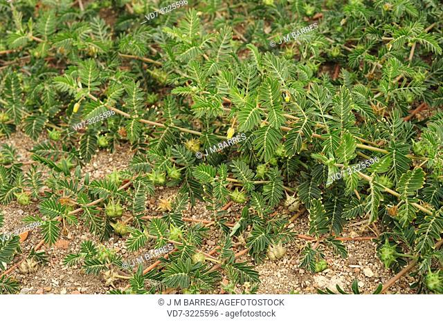 Devil's eyelashes or puncturevine (Tribulus terrestris) is creeping perennial herb widely distributed around the World. This photo was taken in Salamanca...