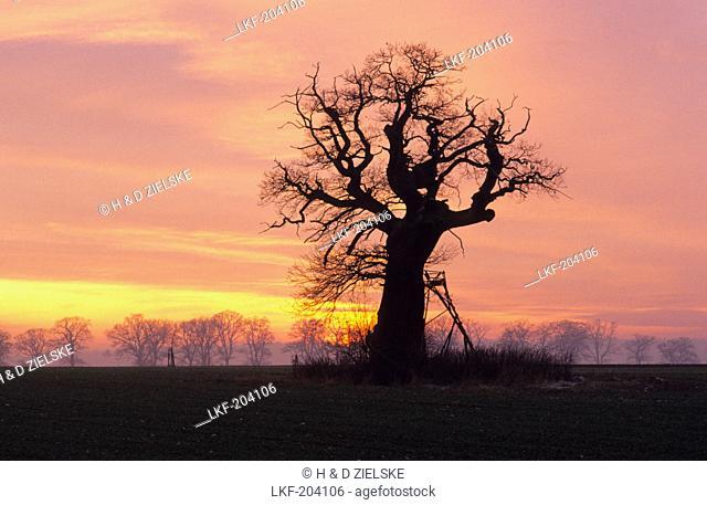 Europe, Germany, Hesse, oak tree in Reinhardswald