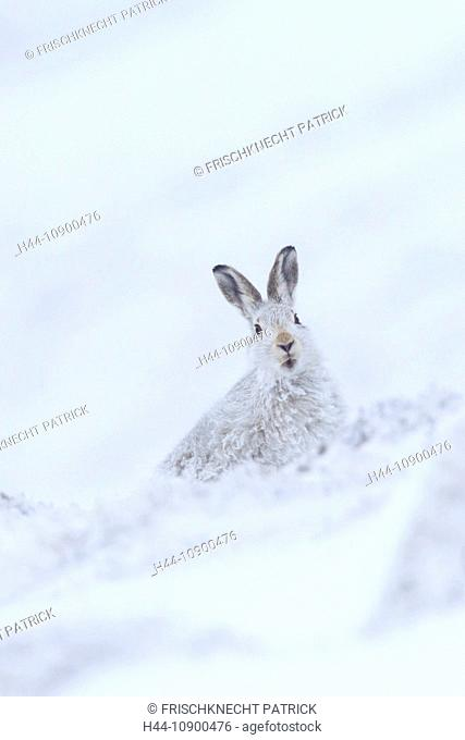 Alps, alpine, fauna, mountain, mountains, Cairngorms, ice, fauna, fur, cliff, mountains, hare, rabbit, highlands, cold, living space, Lepus timidus