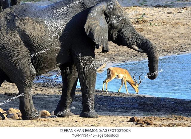 A Gentle Giant and a Graceful Impala at a waterhole  Loxodonta Africana and Aepyceros Melampus   Fall, March 2007   Tembe Elephant Park, Kwazulu-Natal