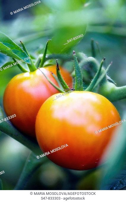 Red Tomatos Ripening on a Vine. Solanum lycopersicon
