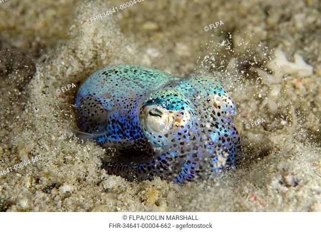 Berry's Bobtail Squid (Euprymna berryi) adult, burying in sand, Padar Island, Komodo N.P., Lesser Sunda Islands, Indonesia, March