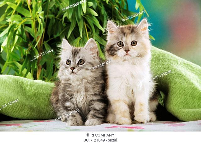two Maine Coon kittens - sitting - frontal