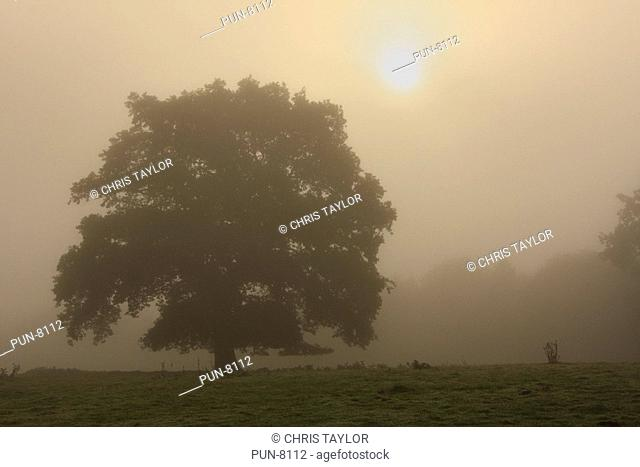 An oak tree in silhouette in the early morning mist with the sun rising